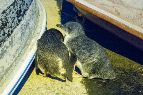 Blaue Pinguine in Oamaru