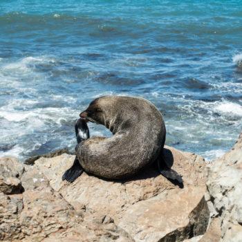 Reisebericht Kaikoura - Seehund