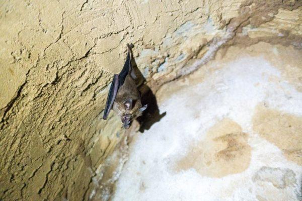 Fledermaus in den Tunneln von Cu Chi